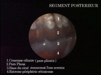 Anatomie du segment postérieur