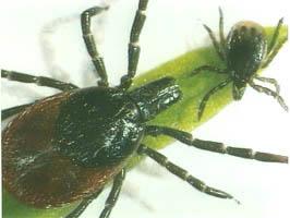 Tique Ixodes ricinus (Lyme)