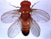 Drosophile bithorax
