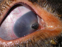 hernie iris perforation oeil